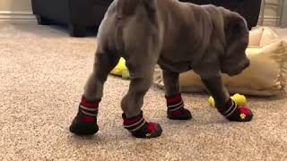 This dog forgot how to walk after making shoes
