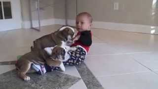 Mini English Bulldog Puppies Brinx & Chandler (www.LoveableBulldogs.com)