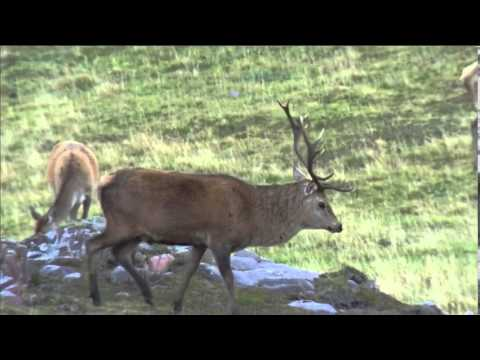 Red Deer Rut On The Isle Of Rum