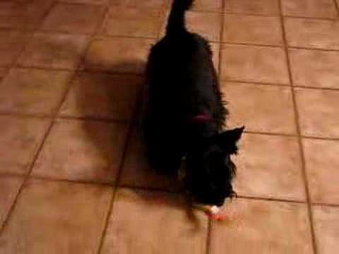scottish terrier bootsie kills the chicken
