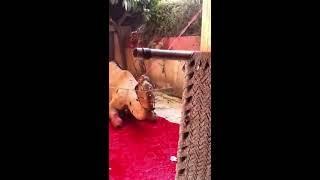 Faisalabad camel ki qurbani