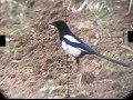 Air Rifle Hunting - Magpies Pest Control video 4/2014