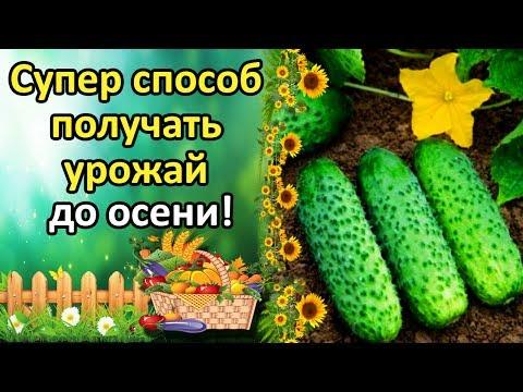 Плодоношение томатов и огурцов до поздней осени – советы агронома