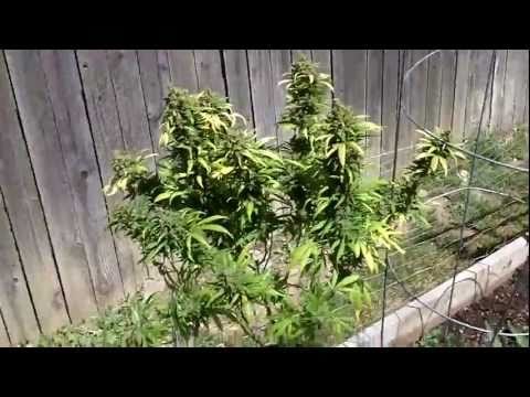 White Widow Harvest 6-26-11