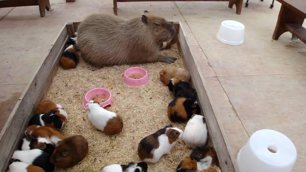 R Guinea Pigs Rodents Capybara nap wi...