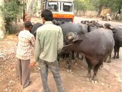 Animals being transported for slaughter in Kamela in Meerut