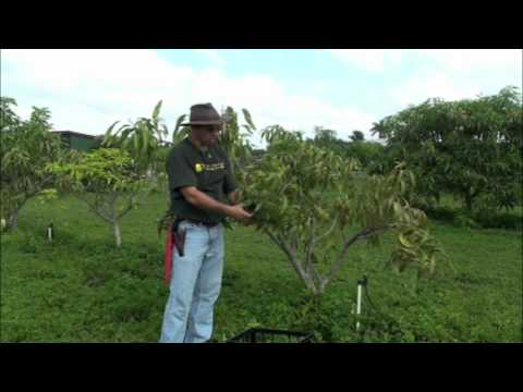 Pruning Young Mango Trees video