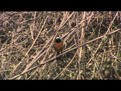 岐阜県の野鳥 06「ジョウビタキ」