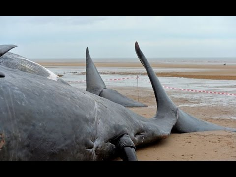 Eight dead sperm whales found washed ashore on German beach