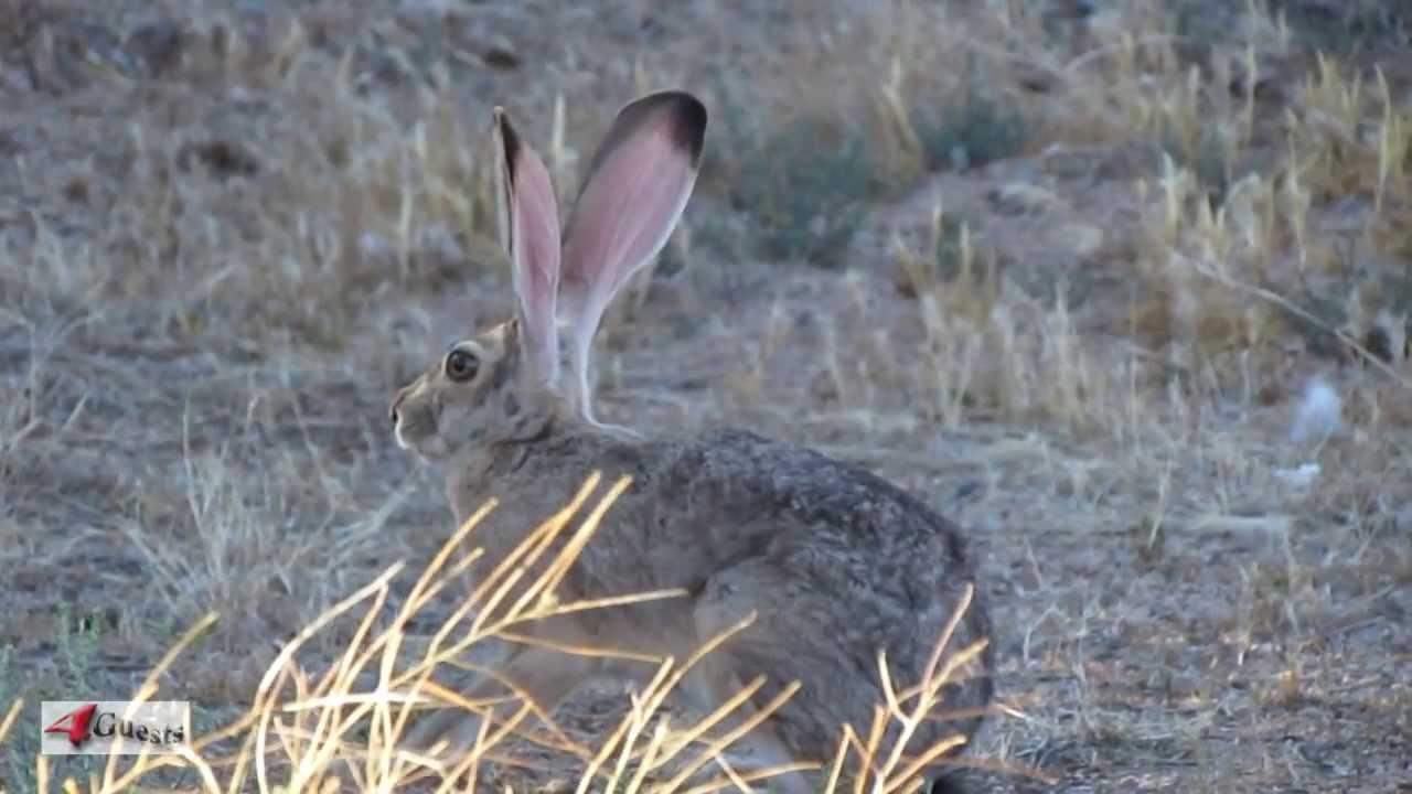 Hare vs jackrabbit - photo#4