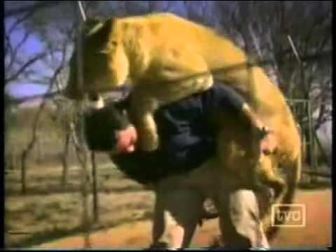 Lioness showing their love to Kevin Richardson.flv