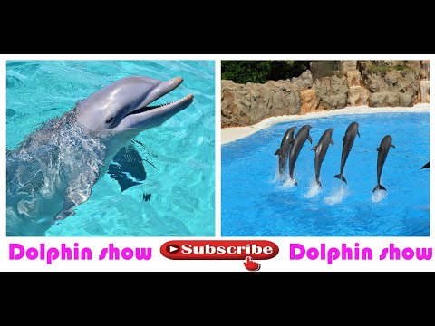 dolphin show amazing wooooow dammam