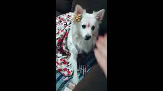 Best Tiktok funny videos of pet dogs.