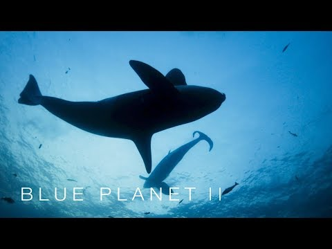 Orca deploy their special weapon - Blue Planet II: Episode 1 Preview - BBC One