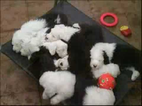 Old English SheepDogs Video