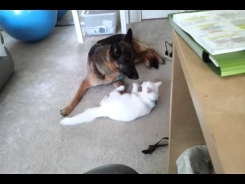 german-shepherd-and-white-cat-playing.html