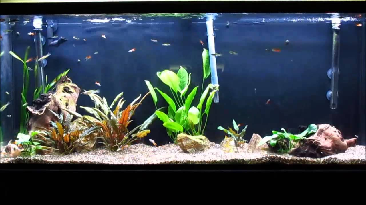 55 gallon planted livebearer aquarium 4 months later Livebearer aquarium fish