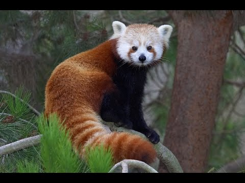 Red Panda Day at the San Diego Zoo