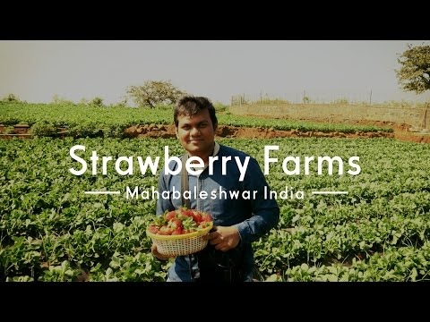 Visit to Strawberry farms | Mahabaleshwer | India