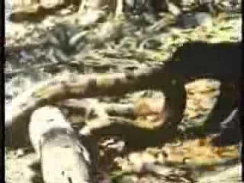 Pelea entre jaguar y anaconda...