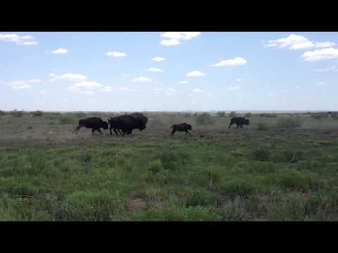 Bison running at Caprock Canyons State Park - Texas Parks and Wildlife [Official]