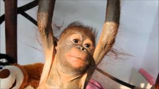 Rescued baby orangutan Gito receives physiotherapy