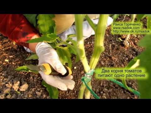 Два корня томатов питают одно растение