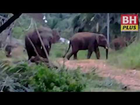 BH PLUS: Gajah Telupid