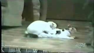 Rabbit mating with cat