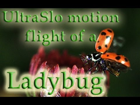 Slow Motion Ladybug spreads its wings and flies away