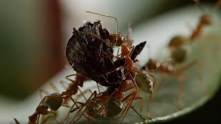 Ant Fortress Under Attack! | Life Story | BBC