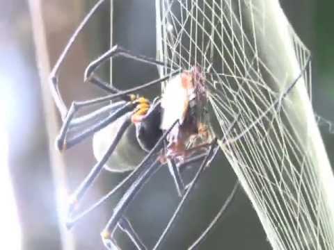 Eats Cockroach Alive.mov