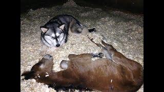 Alaskan Malamute babysitting a Colt