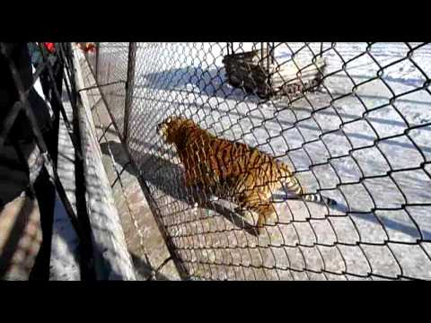 Siberian Tiger Park, Harbin, China
