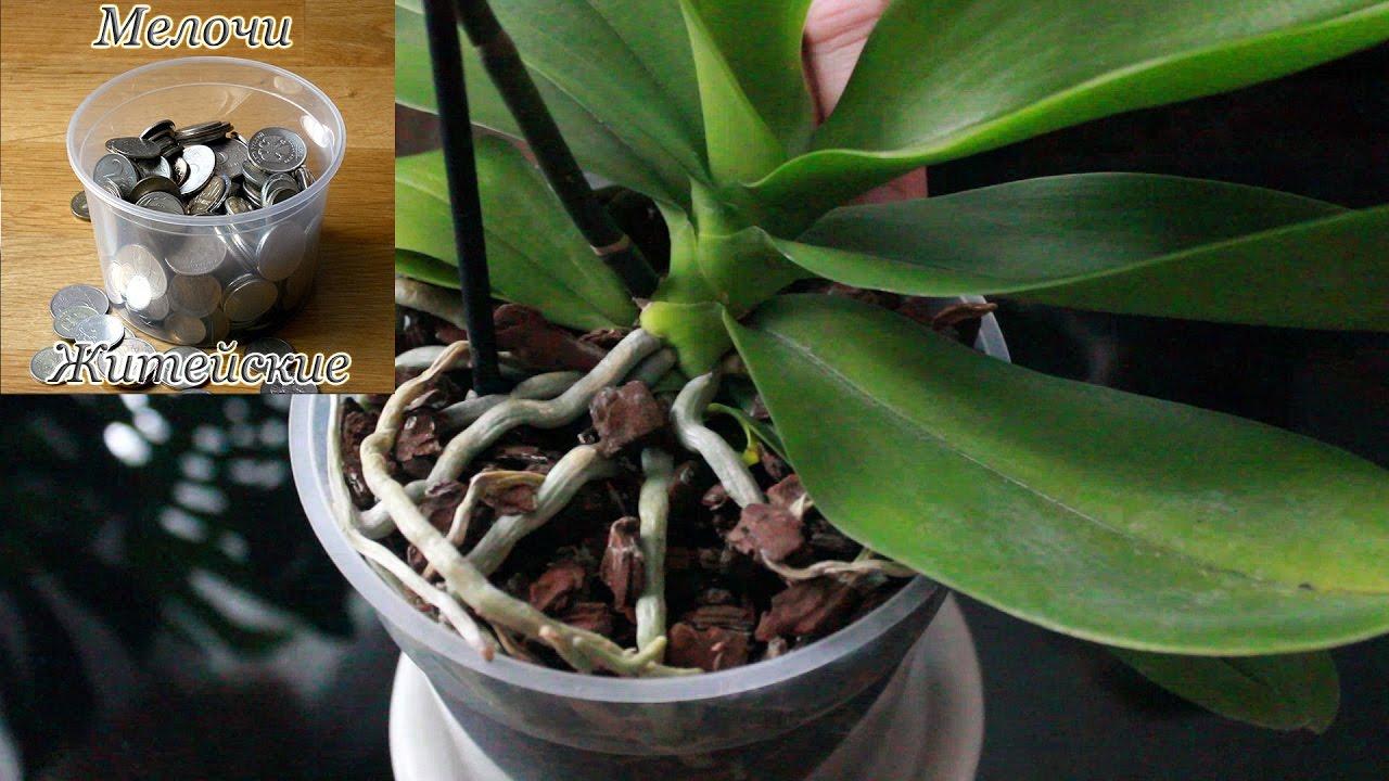 После пересадки орхидеи когда поливать