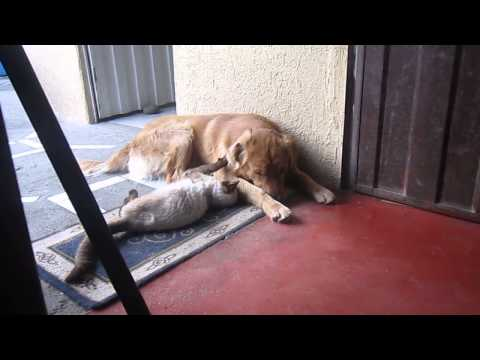 True Love between Cat and Dog:  the Golden Retriever Lucas and the Piolín
