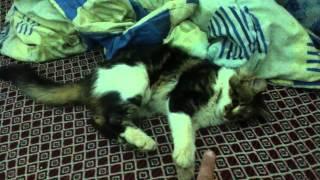 قط جزائري يعشق اللعب بشراسة النمرfunny cat algerian