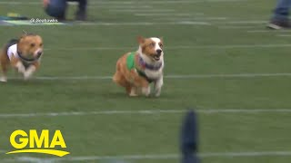 Corgi race steals the show at NFL game l GMA