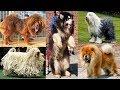 Pelea de perros razas de perros mas peludos