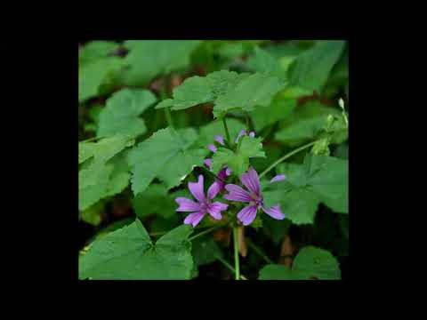 Malve, Heilpflanze