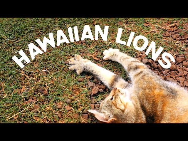 Hawaiian Lions - Awesome cat shelter on Lanai, Hawaii - Lanai Animal Rescue Center