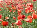 Huge red poppy field