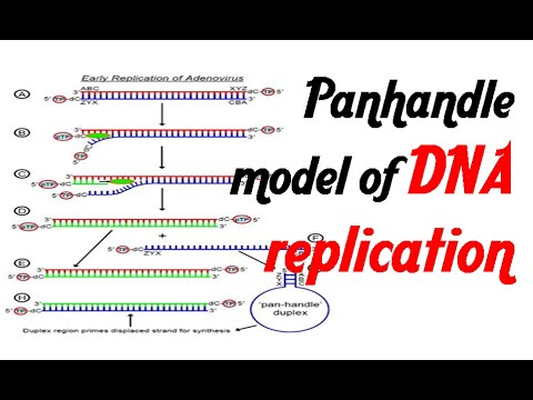 Pan handle model of DNA replication.mp4