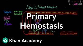 Primary hemostasis | Advanced hematologic system physiology | Health & Medicine | Khan Academy