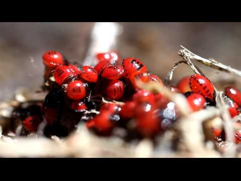 Macro video of hundreds of shield bug nymphs