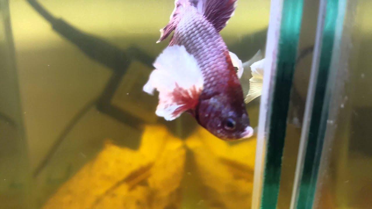 Black dragon betta fish