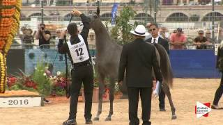 N.12 D AJAYEB - Menton 2016 - Yearling Fillies (Class 1A)