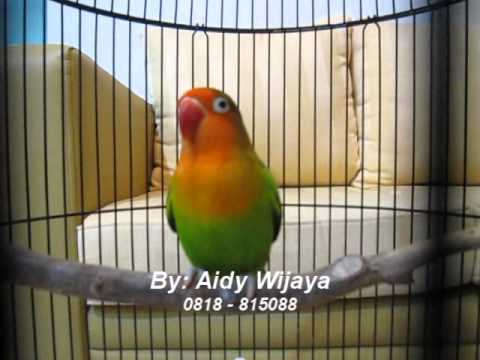 Lovebird-ku Madonna.wmv video
