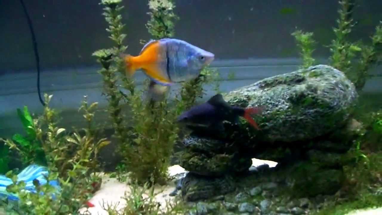 55g fw rainbow fish aquarium boesemani rainbow red for Tropical rainbow fish