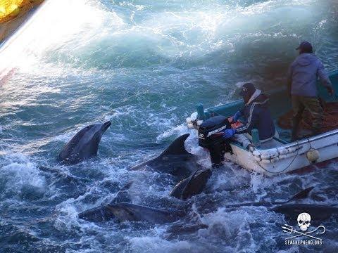 Taiji Fishermen Herded 250-strong Bottlenose Pod Into Cove